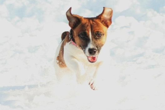 Flying Jack Russell by Rottiefoster
