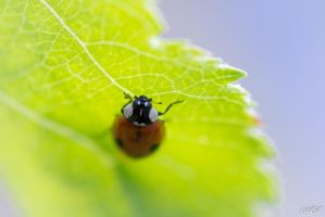 Ladybug on a leaf by MCL28