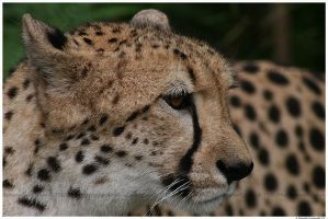 Cheetah Sheeba by TVD-Photography