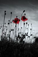 poppys by grepov