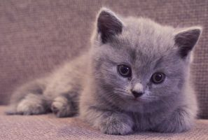 scottish fold. by DeSuvorov