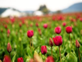 tulip town by crazytmac