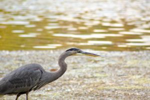 Great Blue Heron by imbrius