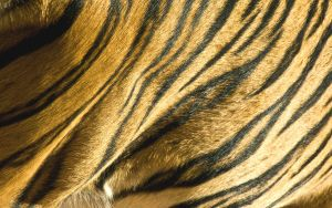 Tiger_15 Shining Coat by Daolpu