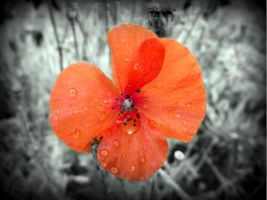 Coquelicot by photomik-art