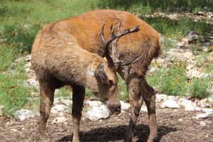 Red Stag 2 by Nolamom3507