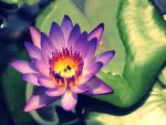 Water Lily by WillTC