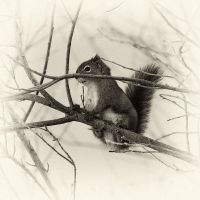 Winter Squirrel 2 by pfister