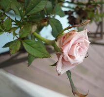 Pink Rose 01 by Struck-Stock