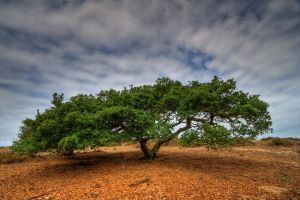 Costal Live Oak on a Big Dune by ernieleo