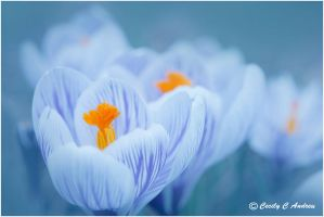 My Crocuses Are Blooming by CecilyAndreuArtwork