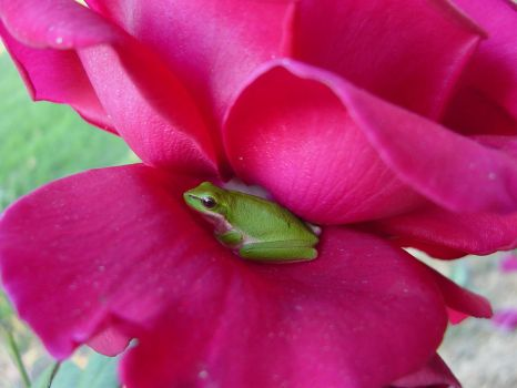 Froggy in a Rose by Vooshe