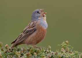 Couldn't hold it in any longer,Crezchmar's Bunting by Jamie-MacArthur