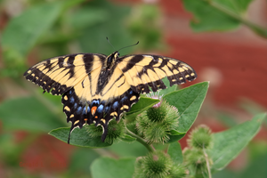 Eastern Tiger Swallowtail 6 by Gerryanimator