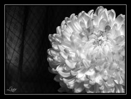 White Flower 2 by LiNoR