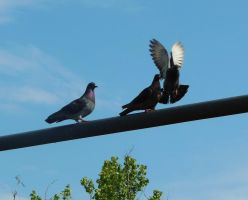 Pigeons 2 by AlissaDStock