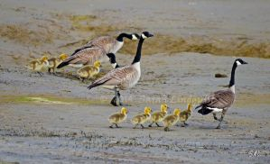 Canada Geese with Goslings by Momenti-Photo