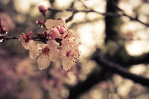 thirsty cherry blossoms by 4dam