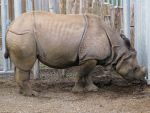 Wild animal 238 - indian rhinoceros by Momotte2stocks