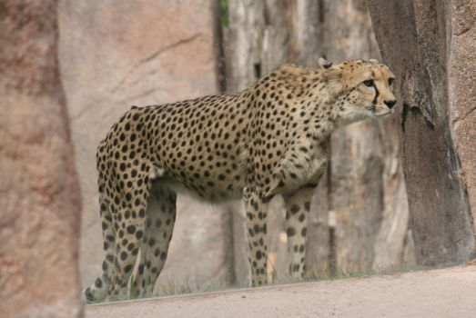 view to cheetah 2 by ingeline-art