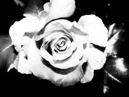 without color rose by chrisstina