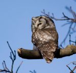 Boreal Owl by shemonter