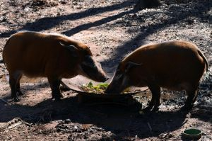 Red River Hog 3 by Vesperity-Stock