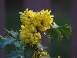 Oregon Grape Stock by botanystock