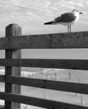 Gull, waiting by growlinghands