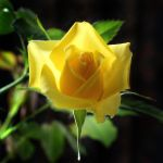 Yellow Rose 07 by s-kmp