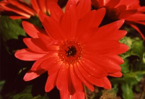 Gerber Daisy by afterthestars