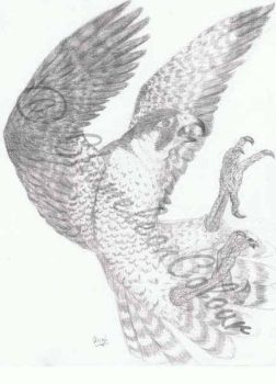 Peregrine Falcon Drawing by ChameleonColour