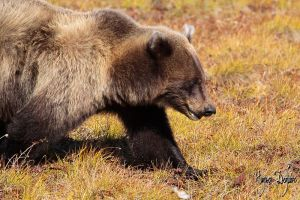 Young Grizzly Bear by Robin-Hugh