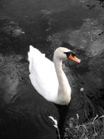 The Swan by AbbyDebz101