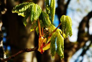 Red Chestnut Bud and Leaves by EarthHart