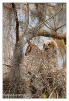 Great Horned Owls by vividlilac