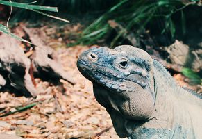 Rhinoceros Iguana (Colour) by EngravedonmyHeart