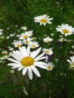 Daisies III by gsdark-stock