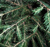 Text_pine tree by Seraerith-stock