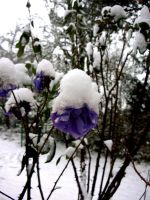 Winter Rose by guad