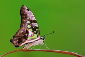 Tailed Jay 210310 by inckurei