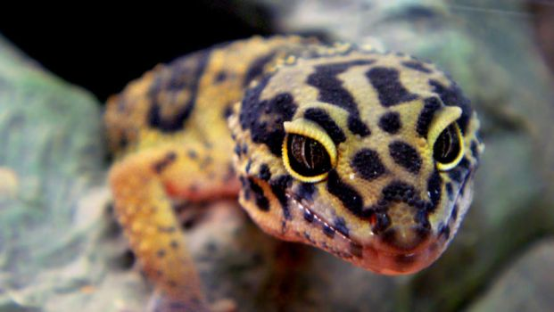 Leopard Gecko -Updated- by shinofour