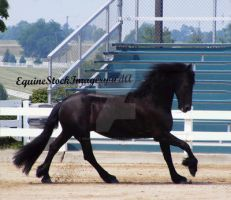 Friesian 10 by EquineStockImagery