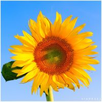 Sunflower. II by kle0012