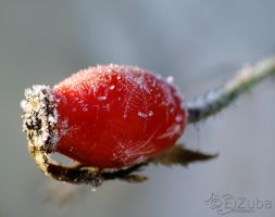 Rosa canina fruit by efeline