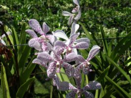 Speckaled Orchid by Fear-the-cute