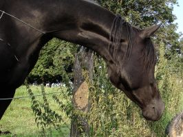 Curious Black Trakehner Mare - Portrait stock by LuDa-Stock