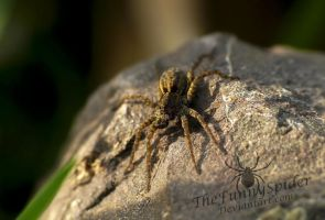 Male Wolf Spider relaxing by TheFunnySpider