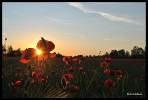 Poppies by andrearossi