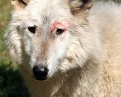 Wounded Wolf by Jack-13